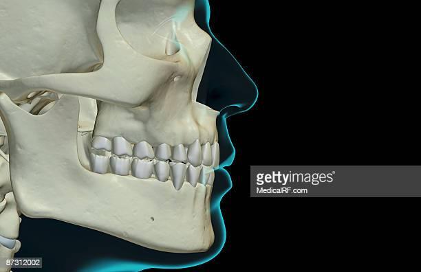 the bones of the jaw - あご点のイラスト素材/クリップアート素材/マンガ素材/アイコン素材