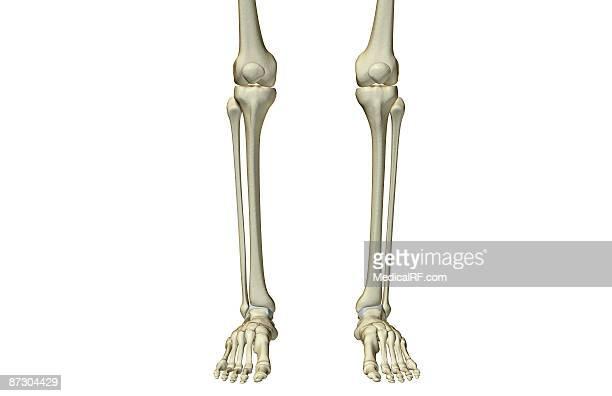 ilustraciones, imágenes clip art, dibujos animados e iconos de stock de the bones of the leg - hueso de la pierna