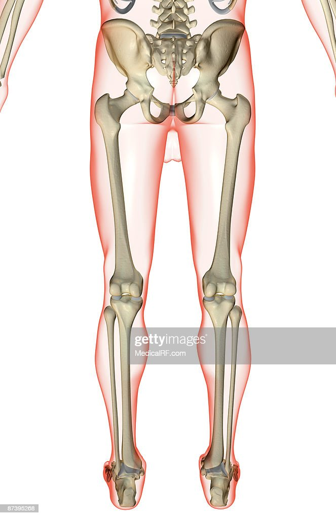 The Bones Of The Lower Body Stock Illustration Getty Images