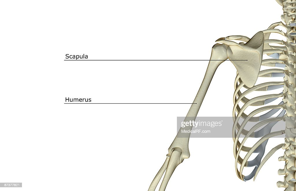 The Bones Of The Shoulder And Upper Arm Stock Illustration Getty