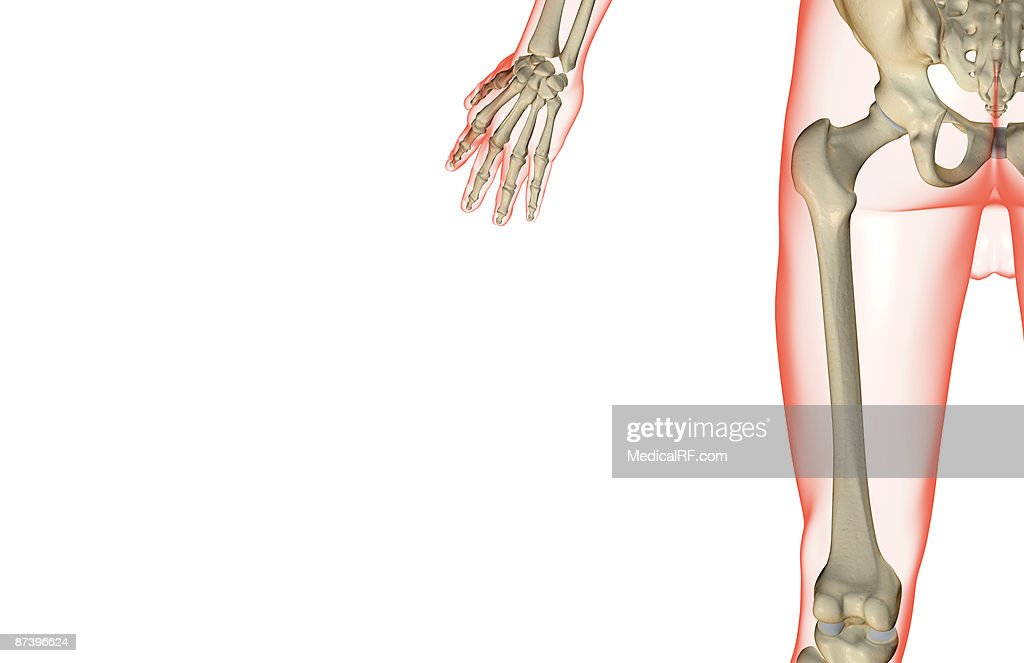 The Bones Of The Thigh Stock Illustration Getty Images