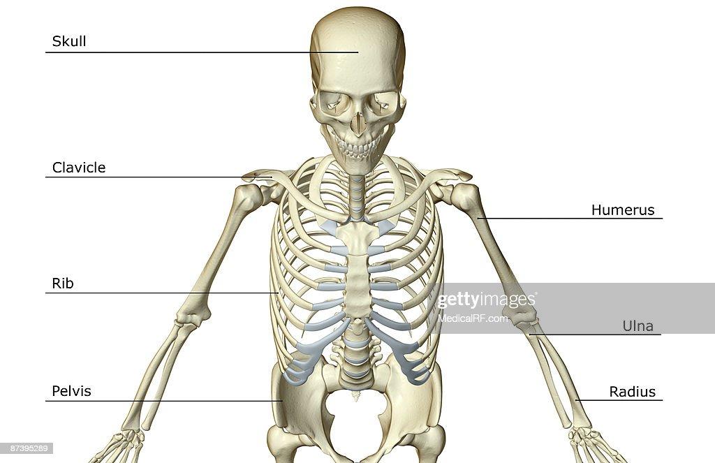 Upper Body Of The Human Body Skeletal Diagram Car Wiring Diagrams
