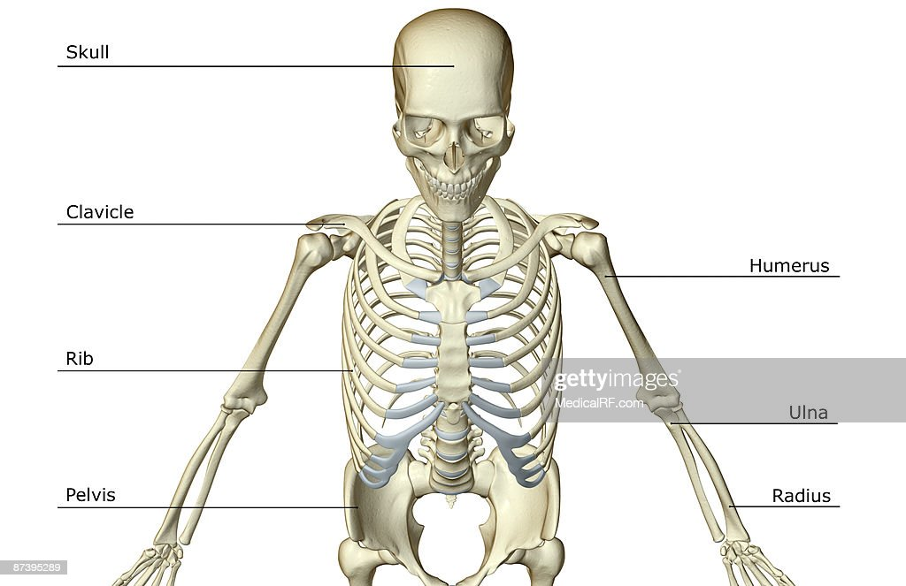 Diagram Of Bones In Upper Torso Worksheet And Wiring Diagram