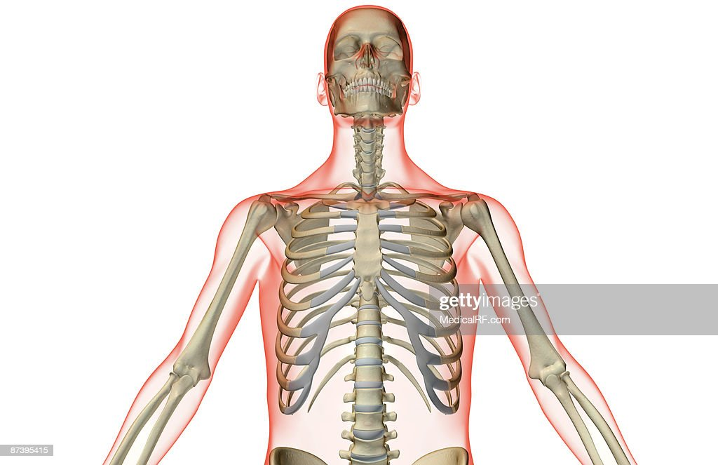 The Bones Of The Upper Body Stock Illustration Getty Images