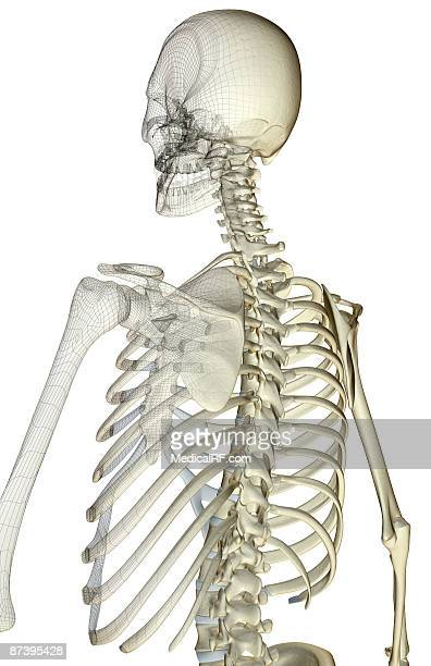 the bones of the upper body - human back stock illustrations, clip art, cartoons, & icons