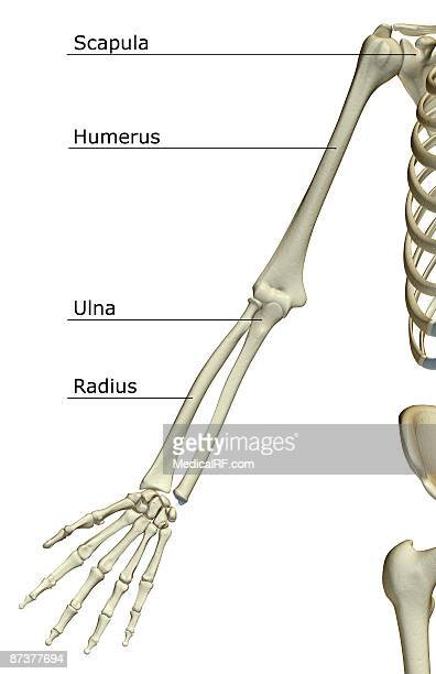 the bones of the upper limb - forearm stock illustrations, clip art, cartoons, & icons