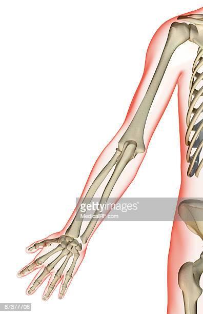the bones of the upper limb - trapezoid stock illustrations