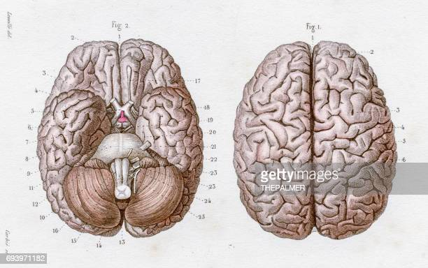 Cerebral Cortex Stock Illustrations And Cartoons Getty Images