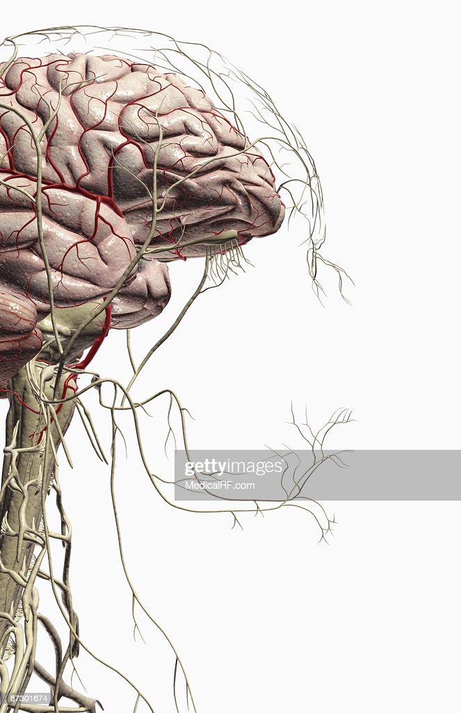 The Brain And Nerves Of The Head And Neck Stock Illustration Getty