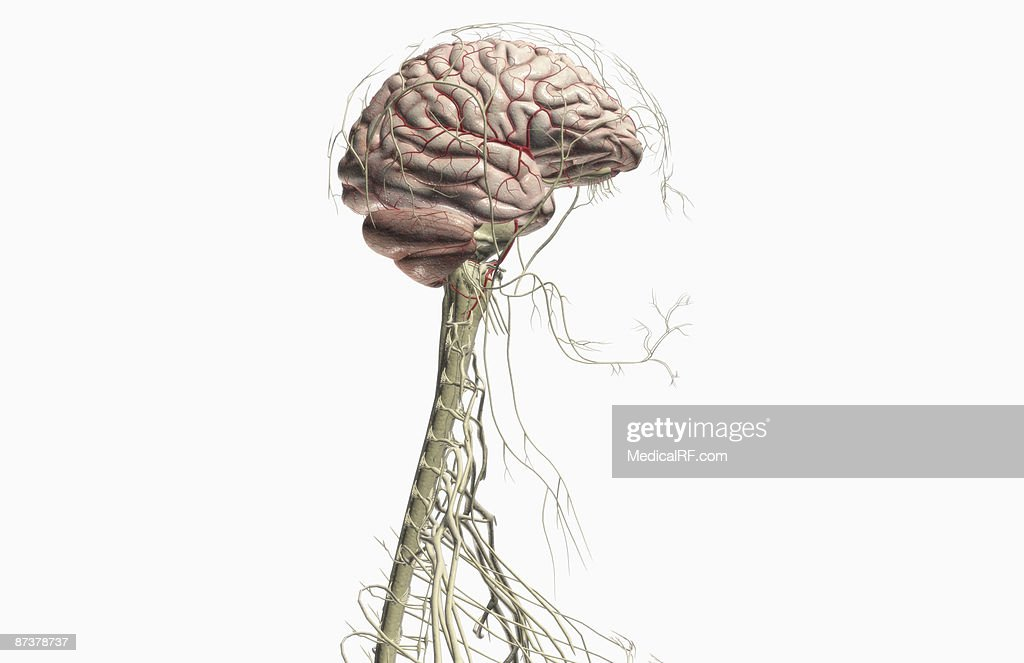 The Brain And Nerves Of The Head And Neck Stock Illustration | Getty ...