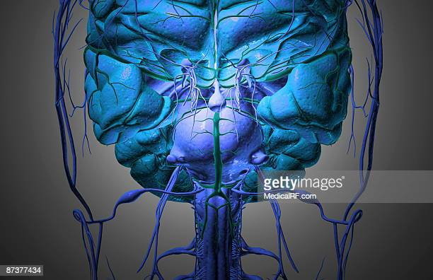 the brain and nerves of the head - trigeminal nerve stock illustrations, clip art, cartoons, & icons
