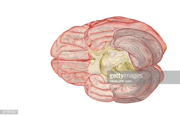 the brain - optic nerve stock illustrations, clip art, cartoons, & icons