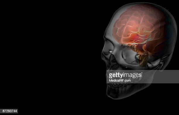 the brain - frontal lobe stock illustrations, clip art, cartoons, & icons