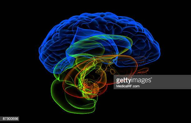 the brain - diencephalon stock illustrations, clip art, cartoons, & icons