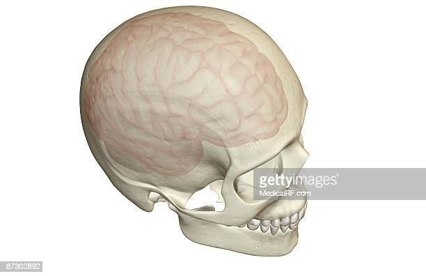 the brain - cerebral hemisphere stock illustrations, clip art, cartoons, & icons