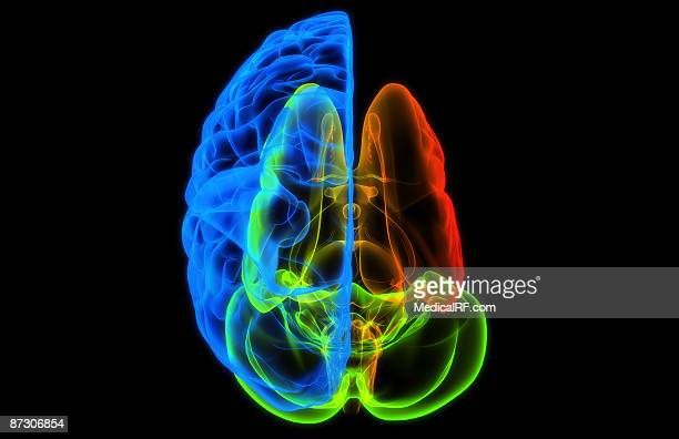 the brain - cerebral nuclei stock illustrations, clip art, cartoons, & icons