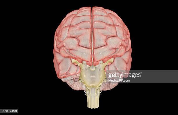 the brain - trigeminal nerve stock illustrations, clip art, cartoons, & icons