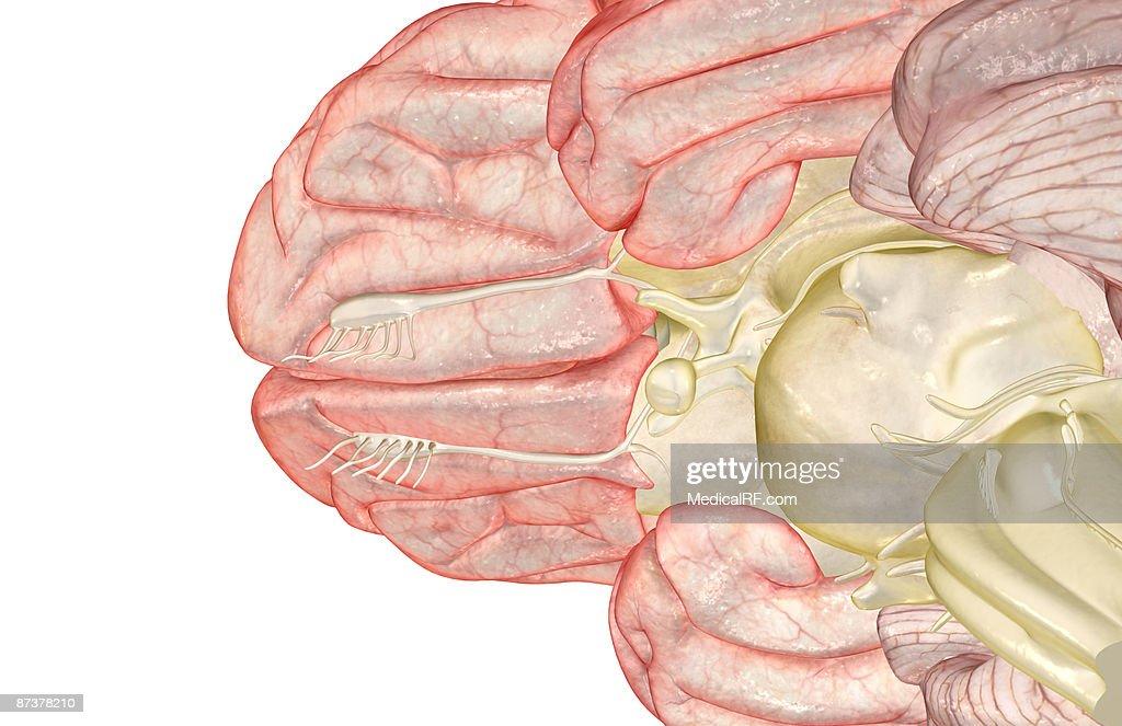 The brain : stock illustration