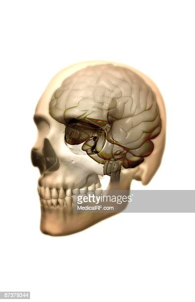 ilustrações, clipart, desenhos animados e ícones de the brain - lobo temporal
