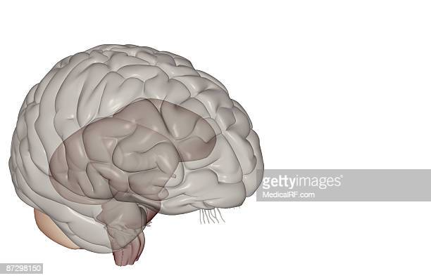the brainstem - cerebral nuclei stock illustrations, clip art, cartoons, & icons