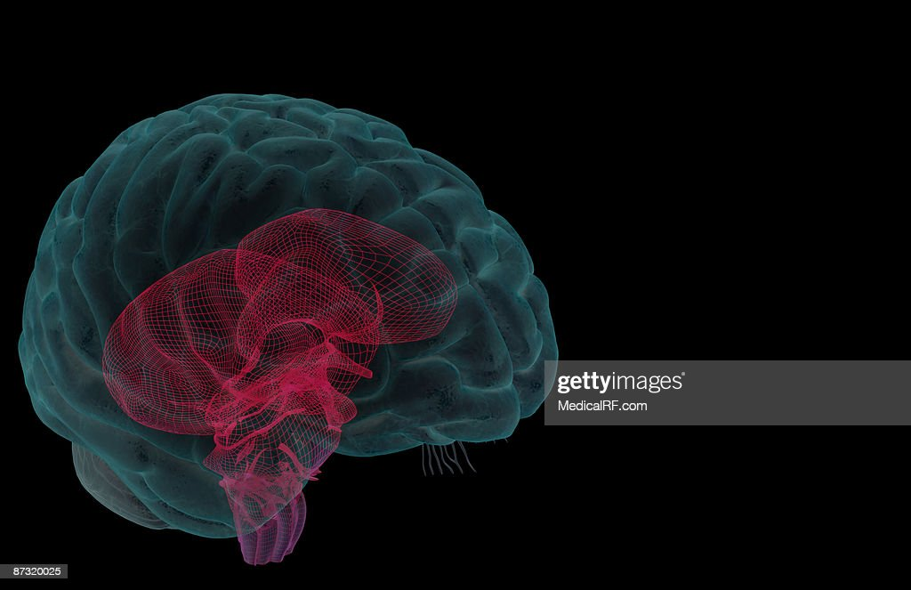The brainstem : stock illustration