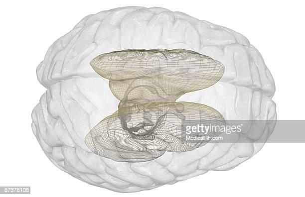 the brainstem - basal ganglia stock illustrations, clip art, cartoons, & icons