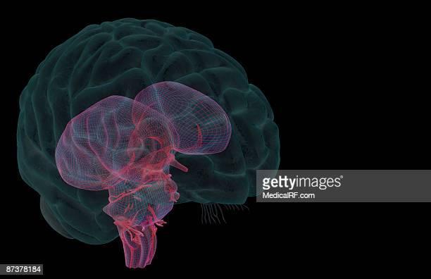 the brainstem - trigeminal nerve stock illustrations, clip art, cartoons, & icons