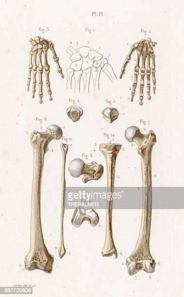 ilustraciones, imágenes clip art, dibujos animados e iconos de stock de la anatomía del carpo grabado de 1886 - hueso de la pierna
