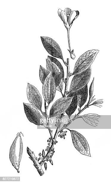 the coca plant (erythroxylon coca) - cocaine stock illustrations, clip art, cartoons, & icons