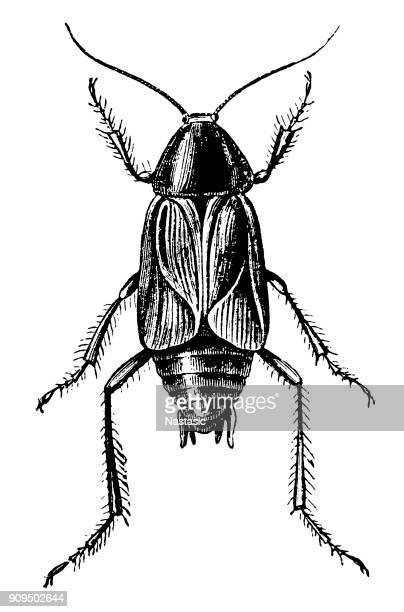 ilustraciones, imágenes clip art, dibujos animados e iconos de stock de la cucaracha (periplaneta orientalis) - cucarachas