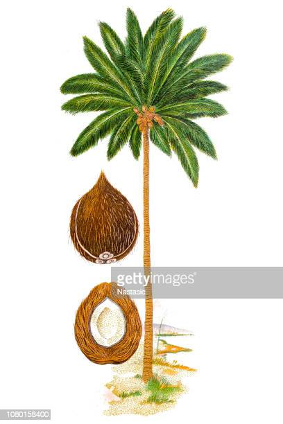 the coconut tree (cocos nucifera) - coconut palm tree stock illustrations