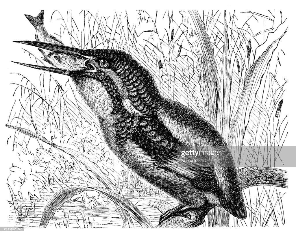 The common kingfisher ,Eurasian kingfisher, river kingfisher (Alcedo atthis) : stock illustration