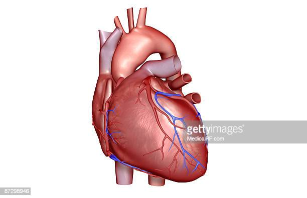 the coronary vessels of the heart - coronary artery stock illustrations, clip art, cartoons, & icons