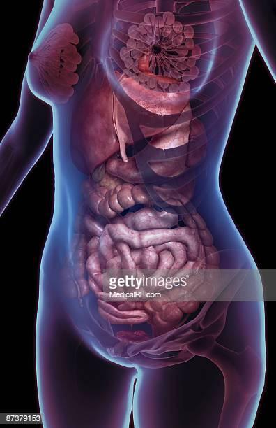 the digestive system - human intestine stock illustrations, clip art, cartoons, & icons