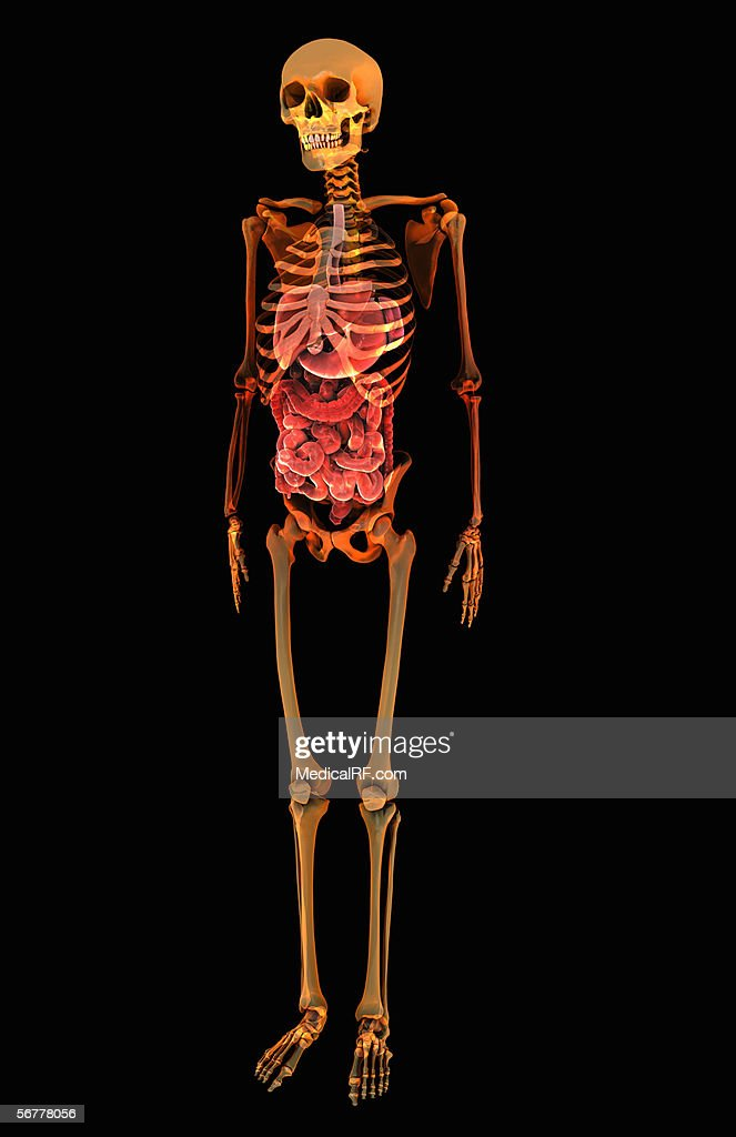The Digestive System Within A Stylized Xray Skeletal System Stock