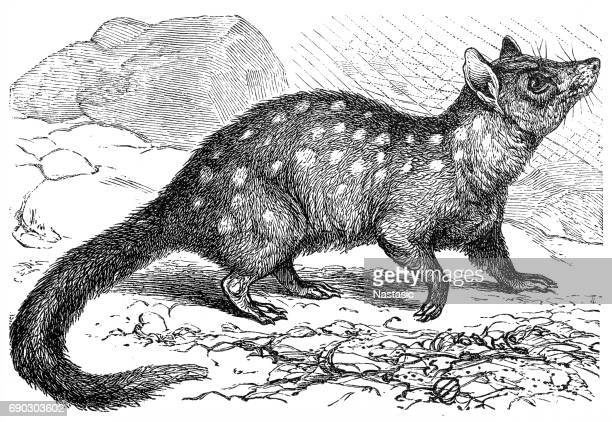 The eastern quoll (Dasyurus viverrinus)