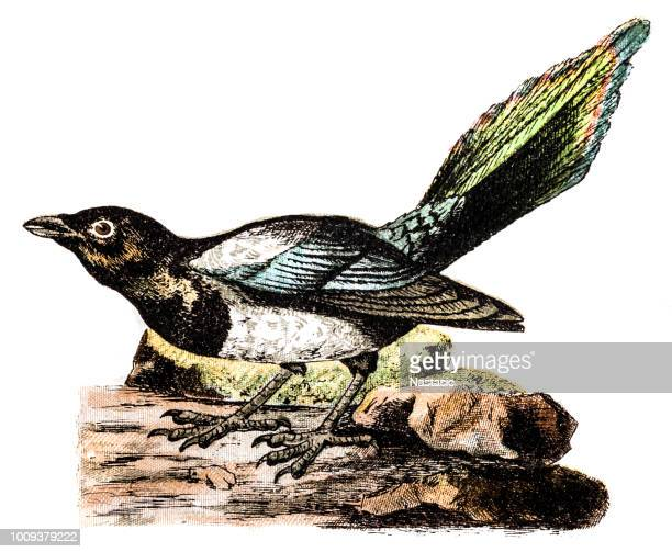 the eurasian magpie or common magpie (pica pica) - magpie stock illustrations