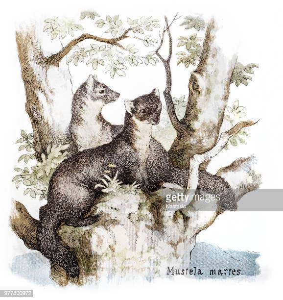 the european pine marten (martes martes), known most commonly as the pine marten in anglophone europe, and less commonly also known as pineten, baum marten, or sweet marten - baum stock illustrations