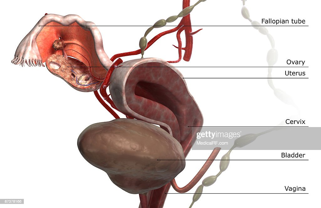 The Female Reproductive System Stock Illustration Getty Images