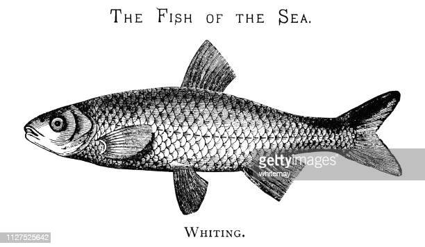 the fish of the sea - whiting - animal scale stock illustrations, clip art, cartoons, & icons