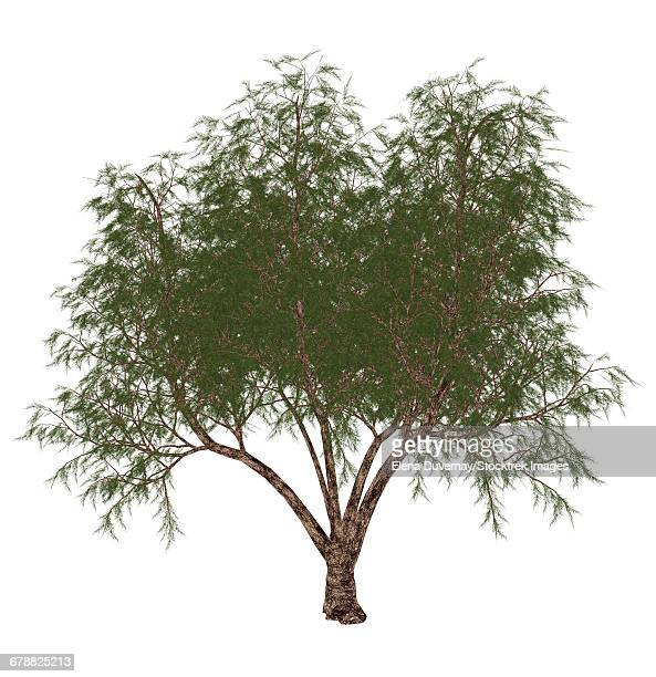 The French tamarisk (Tamarix gallica) tree, isolated on white background.