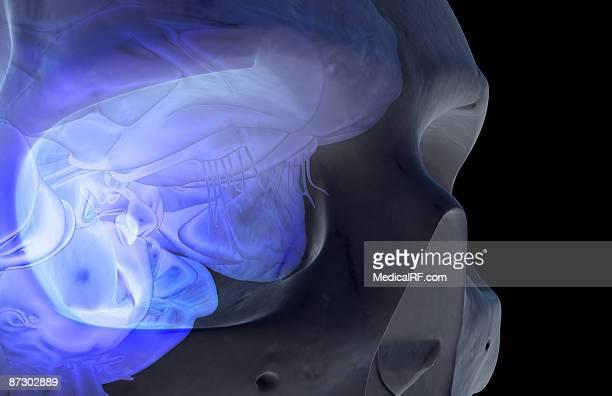 the frontal cortex - frontal lobe stock illustrations, clip art, cartoons, & icons