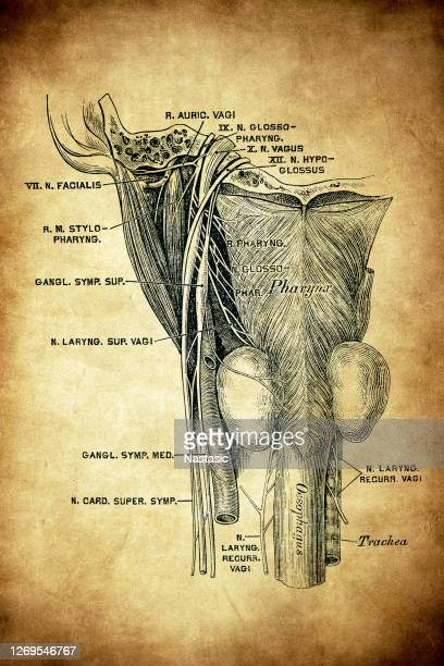 the glossopharyngeal nerve, known as the ninth cranial nerve - glossopharyngeal nerve stock illustrations