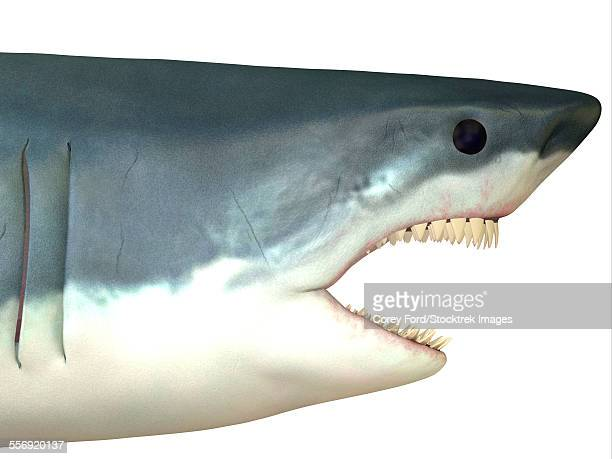the great white shark is found in coastal waters of all major oceans and can live to 70 years. - great white shark stock illustrations, clip art, cartoons, & icons