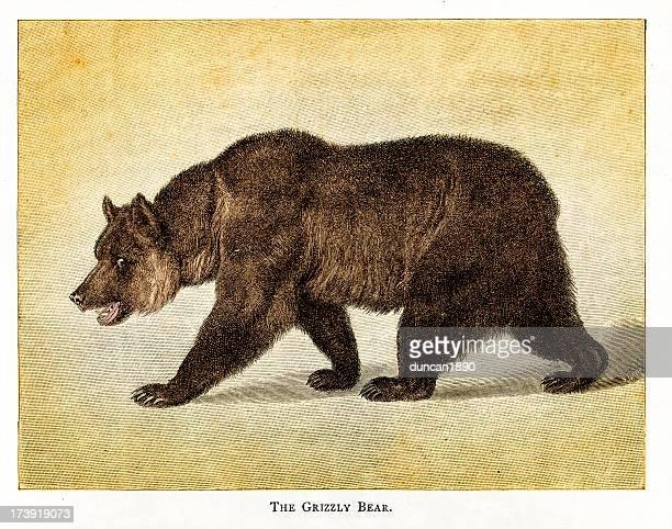 ilustraciones, imágenes clip art, dibujos animados e iconos de stock de el grizzly bear - oso pardo