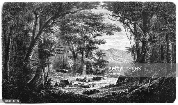 the harvest of the cinchona bark - tree bark stock illustrations, clip art, cartoons, & icons