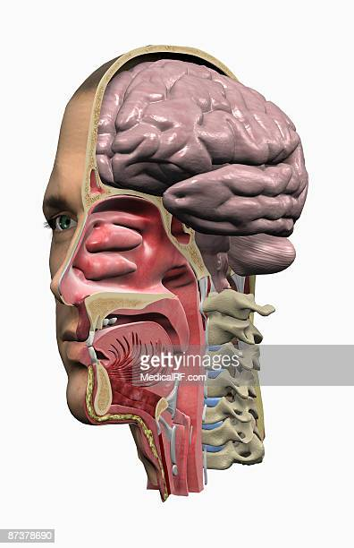 the head and neck - nasal passage stock illustrations