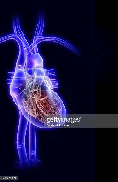 illustrazioni stock, clip art, cartoni animati e icone di tendenza di the heart and its major vessels - images