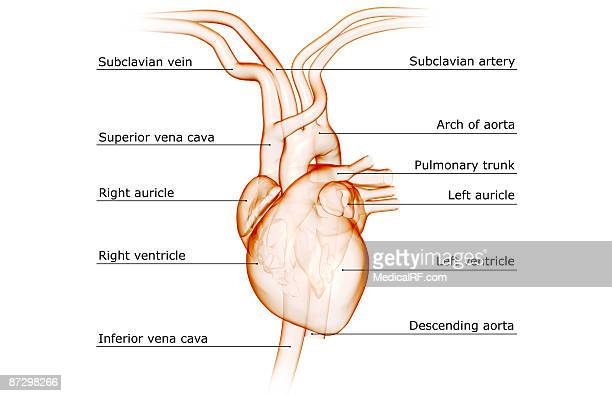 Right Auricle Stock Illustrations And Cartoons | Getty Images