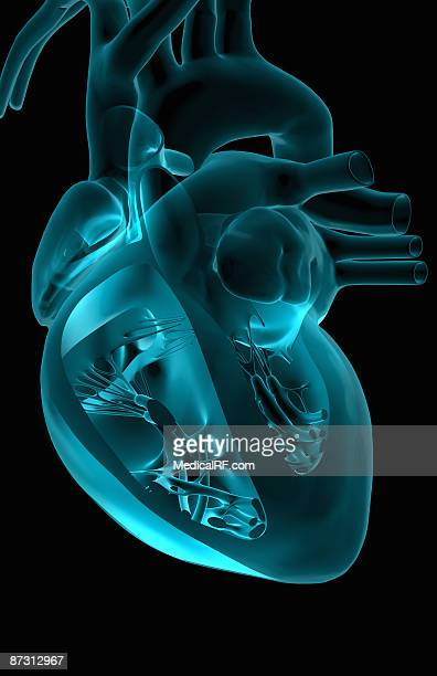 the heart and major vessels - papillary muscle stock illustrations